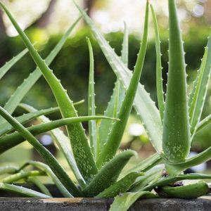 Pokok Aloe Vera, Lidah Buaya