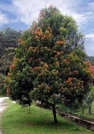 Eugenia Grandis, Pokok Kelat Paya