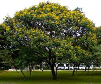 Jemerlang Yellow Flame Peltophorum Pterocarpum