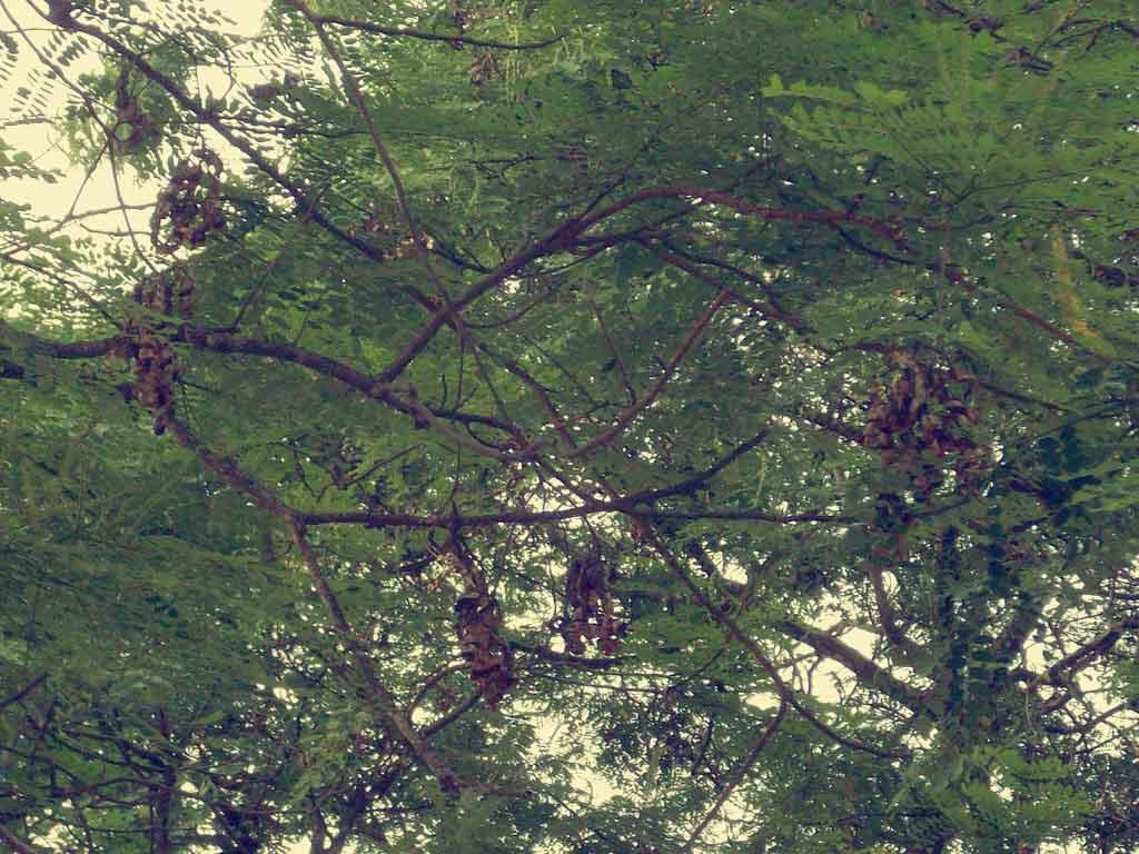 Pohon Saga