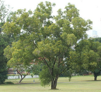 Pokok Acacia Auriculiformis