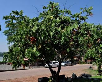 Pokok Amherstia Nobilis