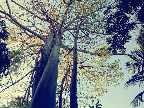 Pokok Ara