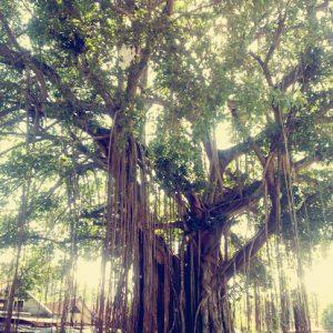 Pokok Beringin