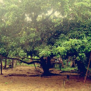 Pokok Ciku