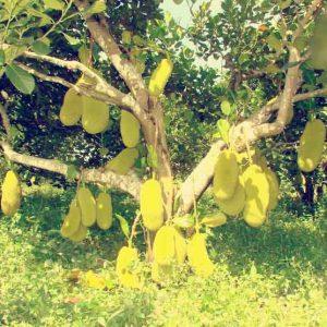 Pokok Nangka