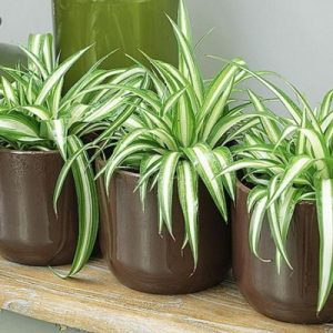 Chlorophytum Comusun