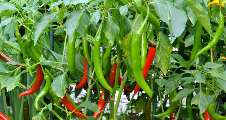 Panduan Menanam Pokok Cili Di Kebun