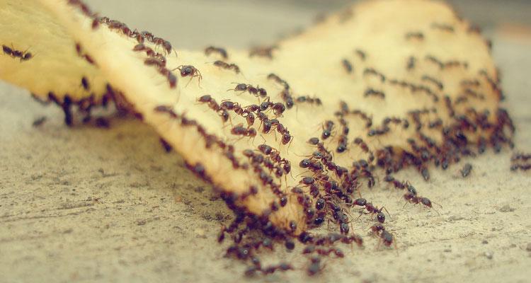 5 Cara Efektif Usir Semut Di Dalam Rumah Anda!