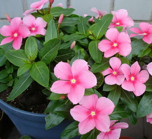 Bunga Geranium Pic