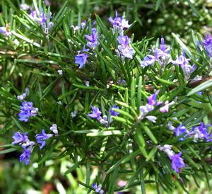 Bunga Rosemary Pic