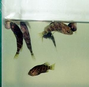 Gambar Penyakit Ikan Berenang Tak Tentu Arah
