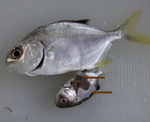 Gambar Badan Ikan Berubah Warna