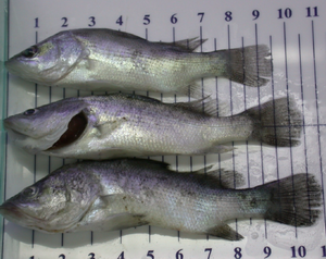 Gambar Emaciation Pada Ikan