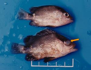 Gambar Penyakit Mata Ikan Kelabu