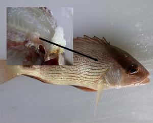 Gambar Tompok Putih Kuning Hitam Pada Ikan