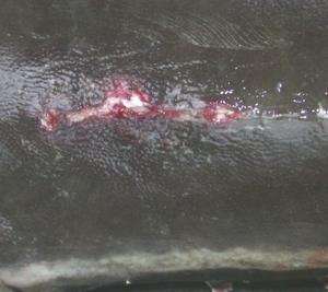 Tompok Merah Pada Badan, Haemorrhagic Lesions Fish