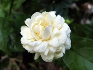 Gardenia Bunga Cina