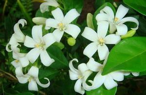 Murraya Paniculata Kemuning