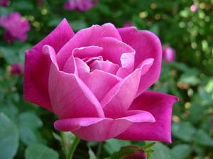 Rosa Chinensis Mawar