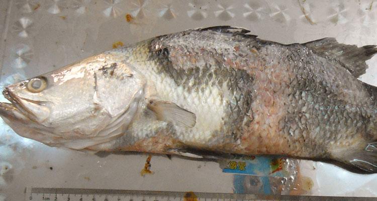 Penyakit Ikan Marin