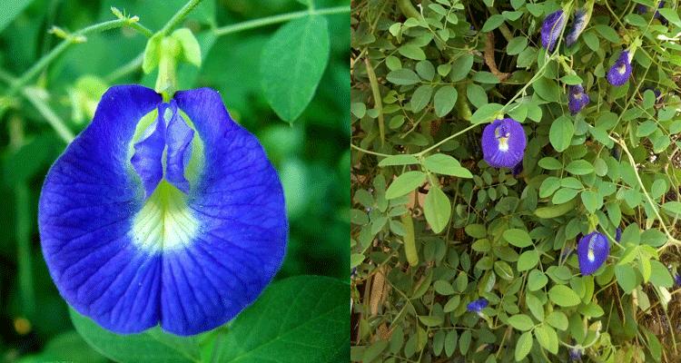Khasiat Bunga Telang