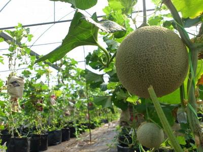 Projek Tanam Rock Melon 3