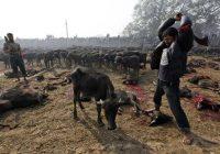 acara-korban-lembu-di-nepal