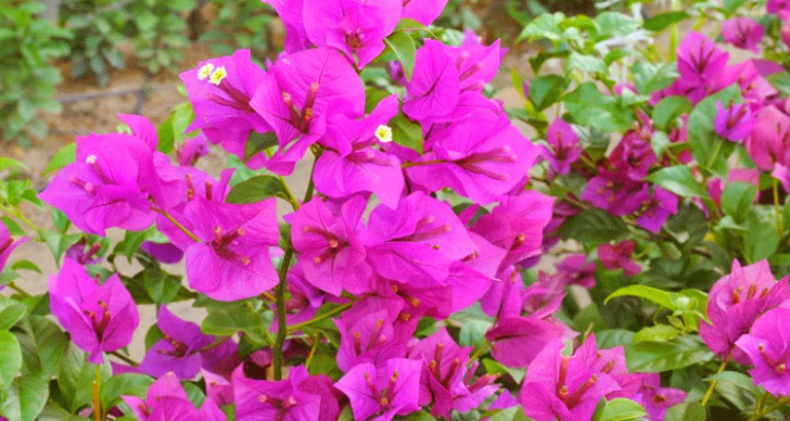 Permalink to Cara Menanam Pokok Bunga Kertas Melalui Keratan Batang