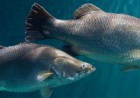 Gambar Ikan siakap atau Barramundi