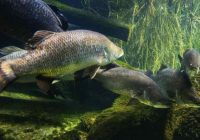 Habitat ikan siakap