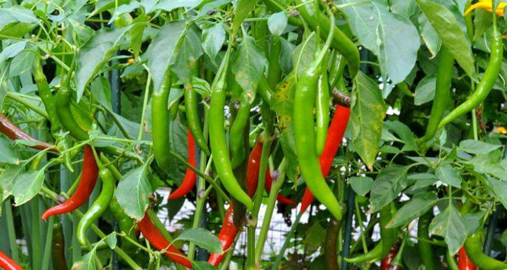 Permalink to Panduan Menanam Pokok Cili Di Kebun