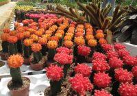 Pokok Kaktus Dijual Di Cactus Valley