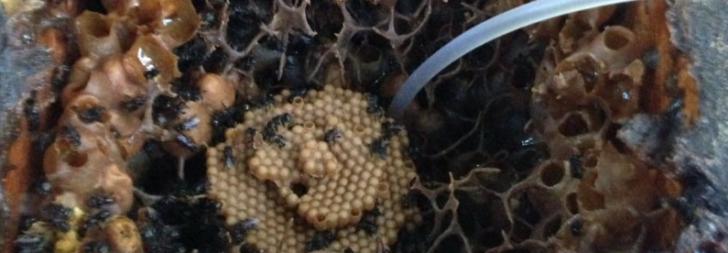 Permalink to Khasiat Madu Kelulut, Propolis, Bee Bread Dan Bukti Kebaikan Madu Lebah Kelulut