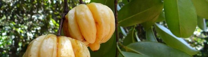 Permalink to Kuruskan badan dengan buah Garcinia Cambogia