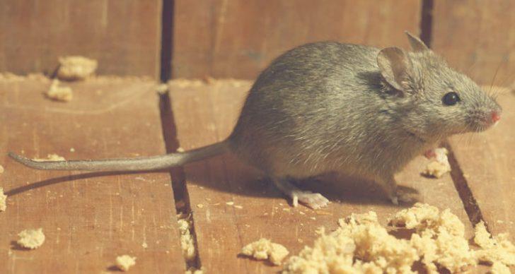 Permalink to Petua Menghalau Tikus Dari Rumah, Elak Penyakit Kencing Tikus!