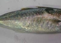 Ikan Selayang