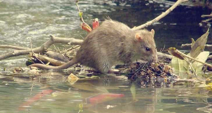 Permalink to Elakkan Diri Dari Terkena Jangkitan Kencing Tikus. Faktor Risiko, Tanda-Tanda, Pencegahan & Tempat Berisiko Mendapat Penyakit Ini!