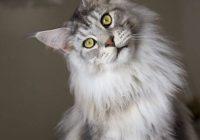 Kucing Maine Coon Umur 9 Bulan