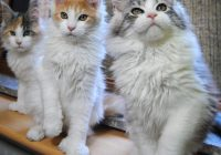 Kucing Maine Coon Yang Asli Biak