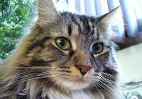 Muka Kucing Maine Coon