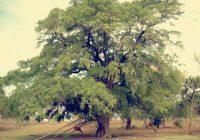Pokok Asam Jawa