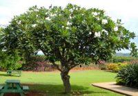 Pokok Kemboja