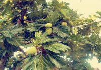 Pokok Sukun