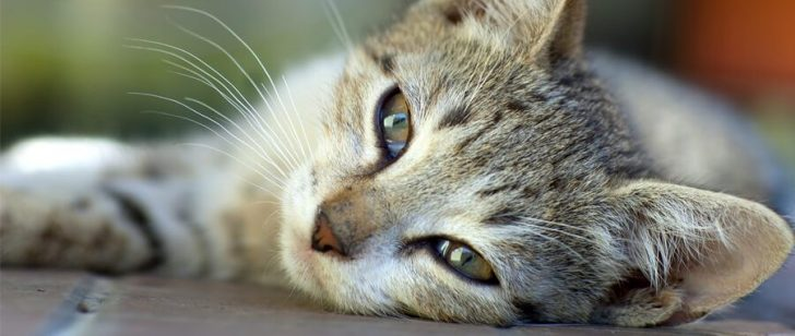 Permalink to 16 Petanda Awal Kucing Anda Diserang Penyakit