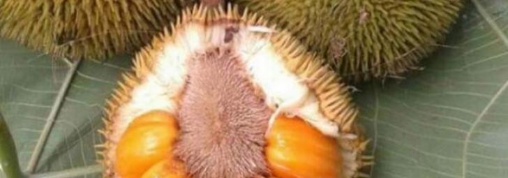 Permalink to Ini Buah Tarap, Bukan Buah Durian Kunyit
