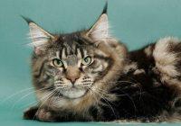 Telinga Dan Wajah Kucing Maine Coon