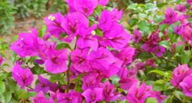 Cara Menanam Pokok Bunga Kertas Melalui Keratan Batang